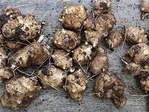 Выращивание топинамбура. посадка и уход