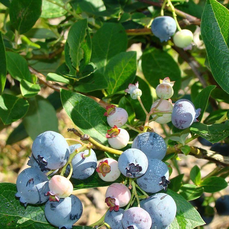 Голубика норт блю: характеристики и особенности сорта