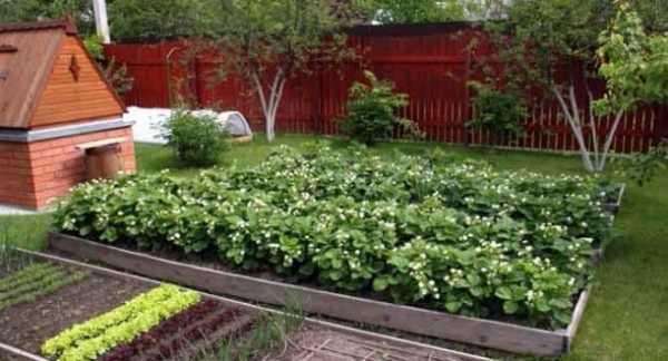 Выращивание клубники по финской технологии - порядок пошагово!
