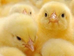 Суточные цыплята: чем кормить и какие условия нужны для содержания?