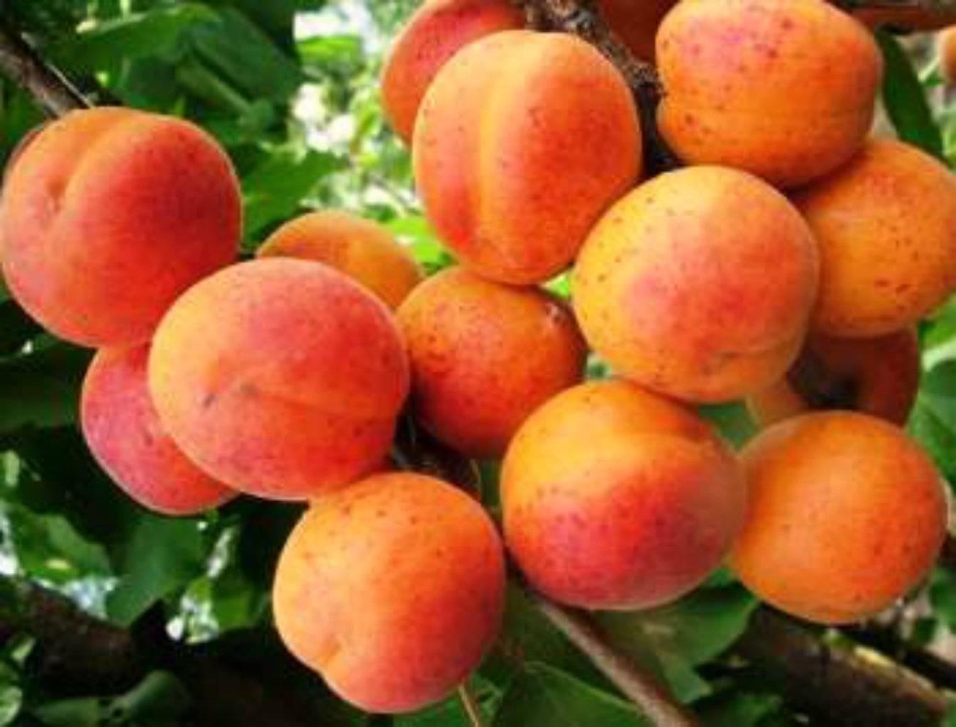 Что делать, если абрикос не приносит плоды