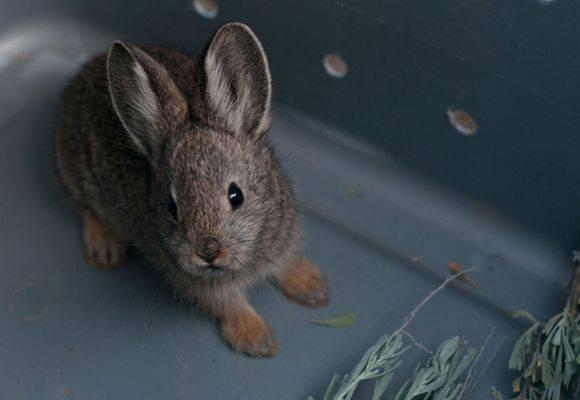 Можно ли давать кроликам полынь?