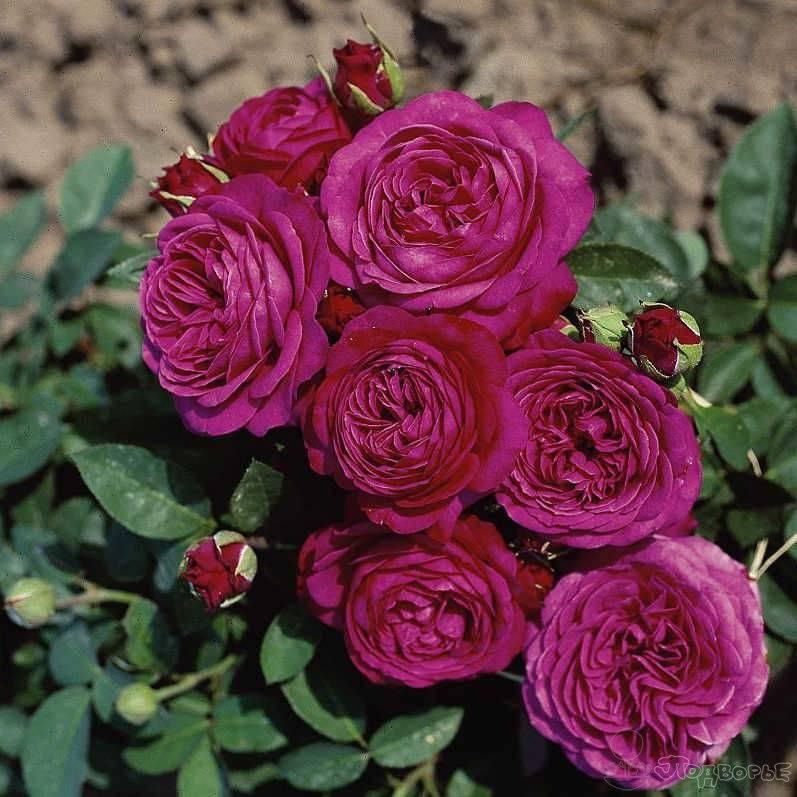 О розе Хайди Клум (Heidi Klum): описание и характеристики розы флорибунда