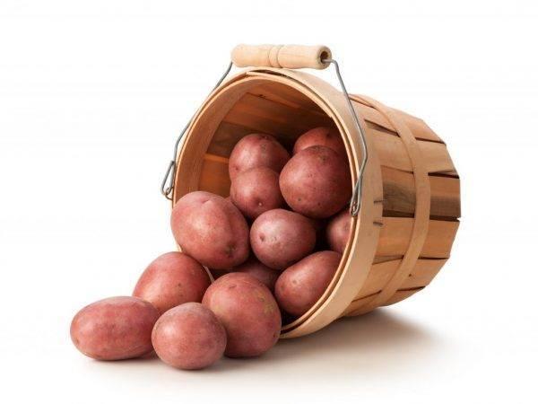 Сорт картофеля «журавинка»: характеристика, описание, урожайность, отзывы и фото