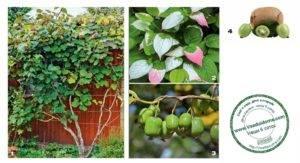 Растение актинидия: посадка и уход, фото, описание выращивания, виды: коломикта и аргута