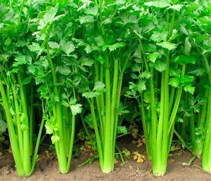Как сажать сельдерей - важные рекомендации по выращиванию
