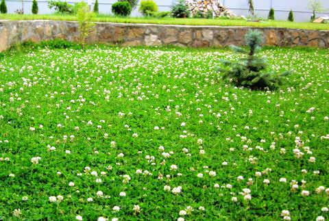 Цветок белый клевер: посадка и уход, применение в ландшафтном дизайне