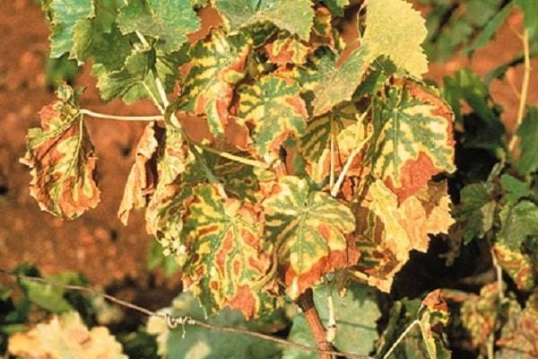 Хлороз винограда: виды, лечение, профилактика заболевания, почему желтеют листья и что с этим делать?