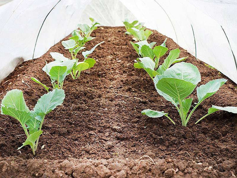 Вытянулась рассада капусты: что делать