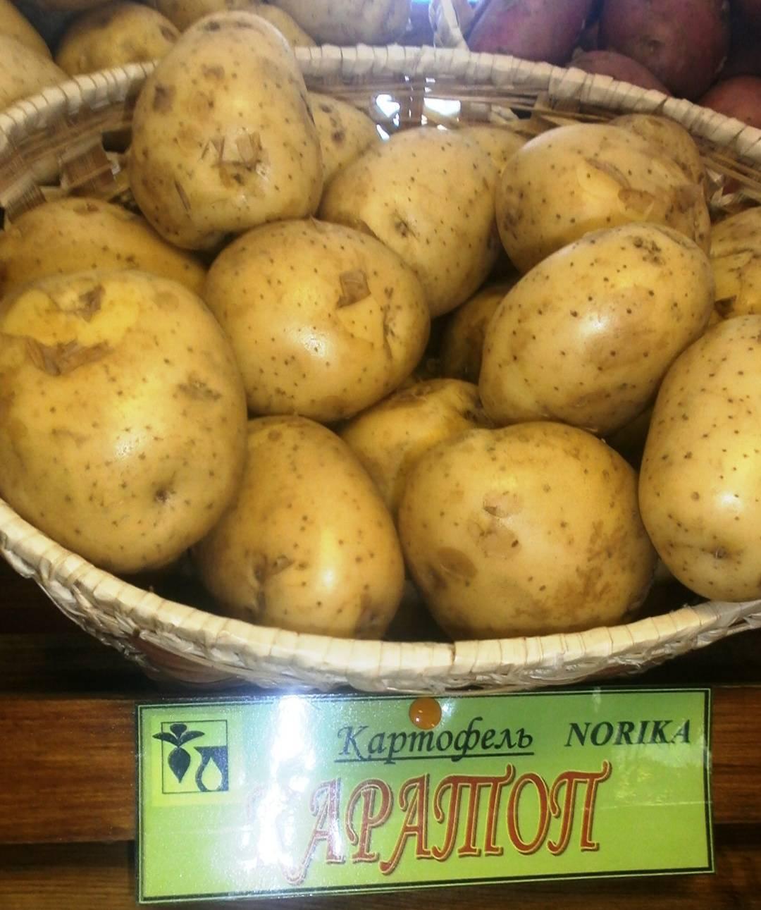 """Картофель """"сынок"""": описание сорта, фото и основные характеристики"""