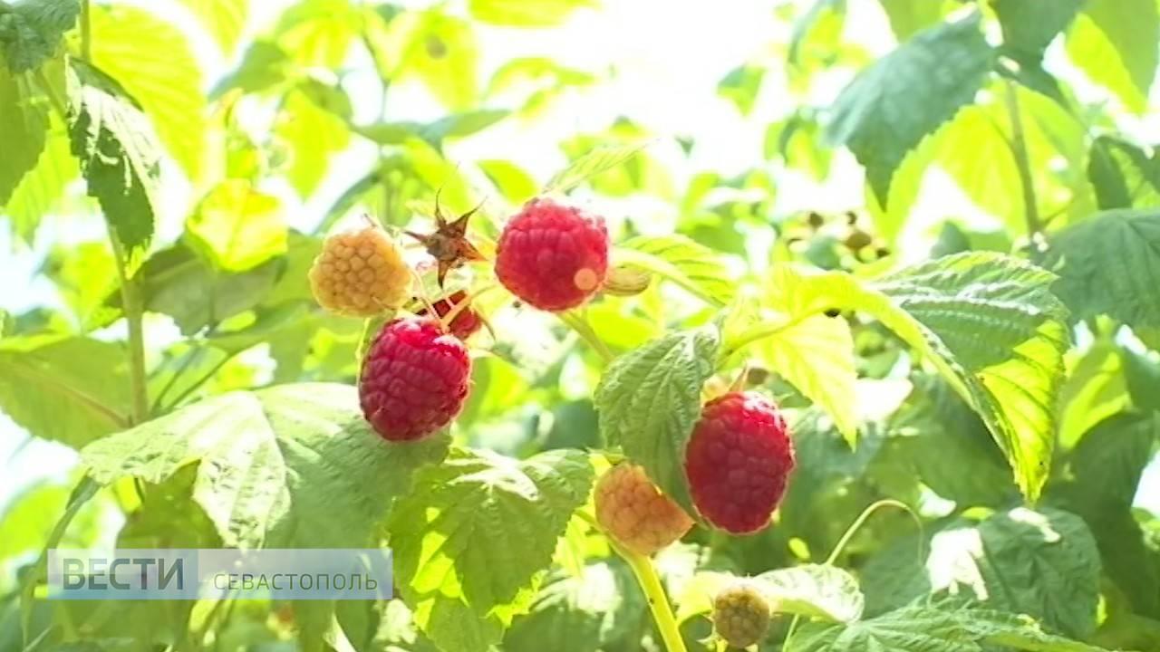Как повысить урожайность обычной малины в 5 раз ' дача, сад, огород '