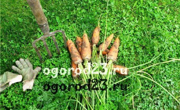 Когда сажать морковь в открытый грунт. посев моркови