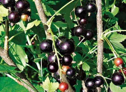 5 кг ягод с куста – это реально! самые крупные сорта черной смородины