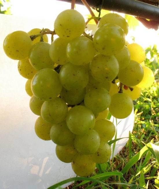 Сорт винограда галбена ноу (золотинка)