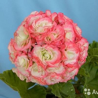 Цветочная принцесса — пеларгония клара сан порадует красотой и ароматом