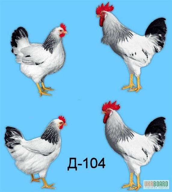 Описание и особенности породы кур доминант