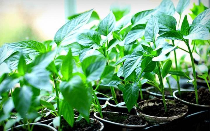 Нашатырный спирт для растений: применение, подкормка как удобрением