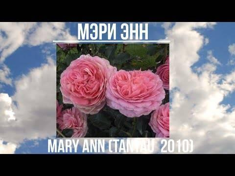Лучшие сорта роз для подмосковья с названиями и фото