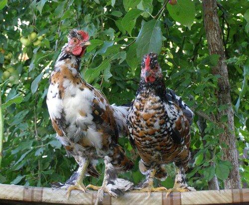 Куры бентамки (28 фото): описание и выращивание породы, алтайские цыплята и другие разновидности бентамки