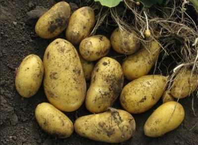 Картофель манифест
