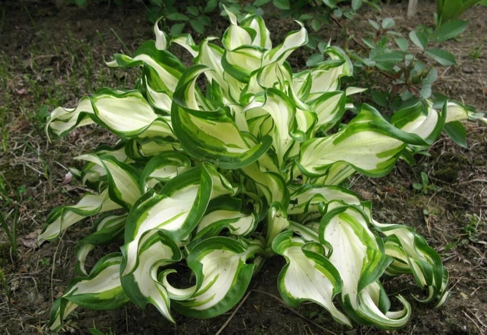 Хоста медиовариегата — различия в сортах и подробности о растении