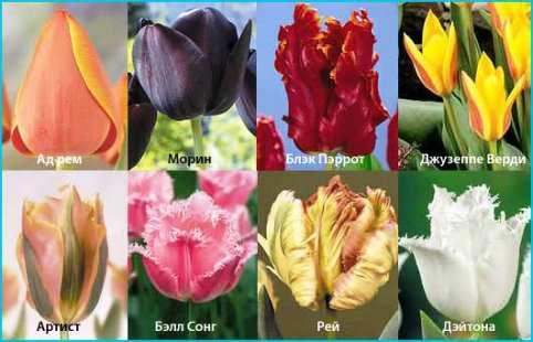 Голландские тюльпаны: сортовое разнообразие и советы по выращиванию