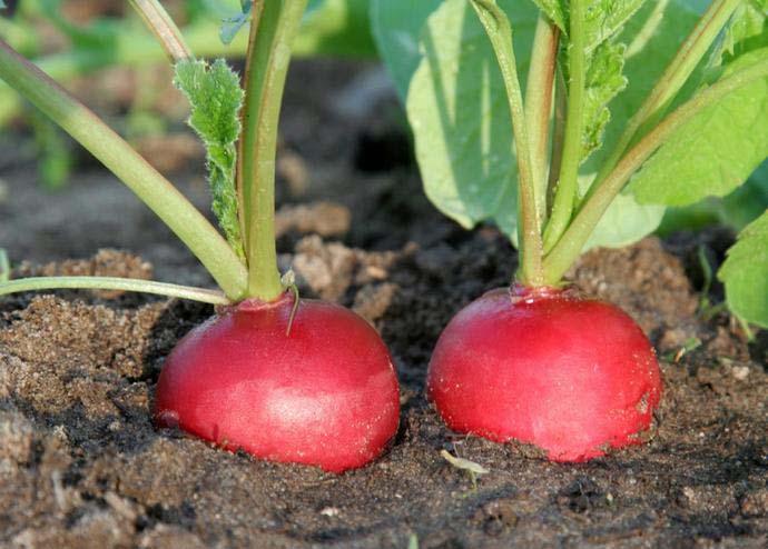 Редис сора: подробная характеристика и описание сорта, особенности выращивания семенами, сбора и хранения урожая, а также список болезней и вредителей