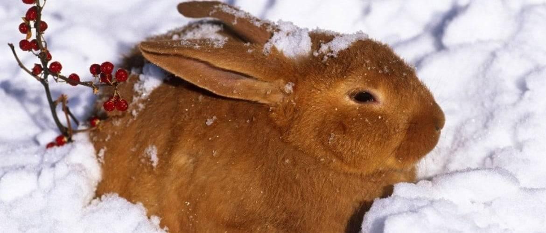 Выращивание кроликов на мясо в домашних условиях