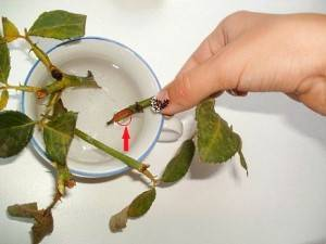 Китайская роза: уход в домашних условиях, размножение, обрезка