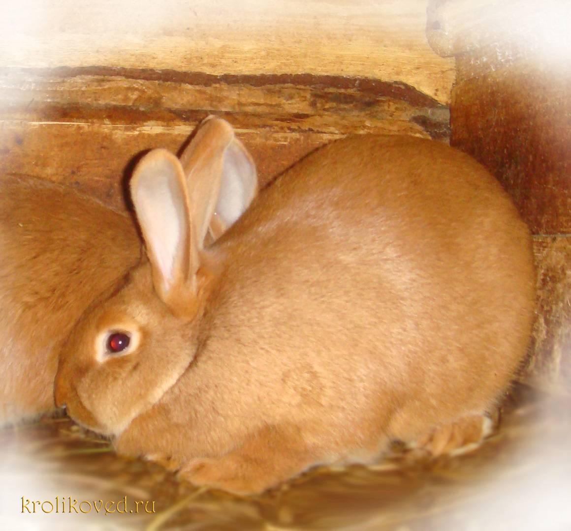 Новозеландский кролик: особенности породы