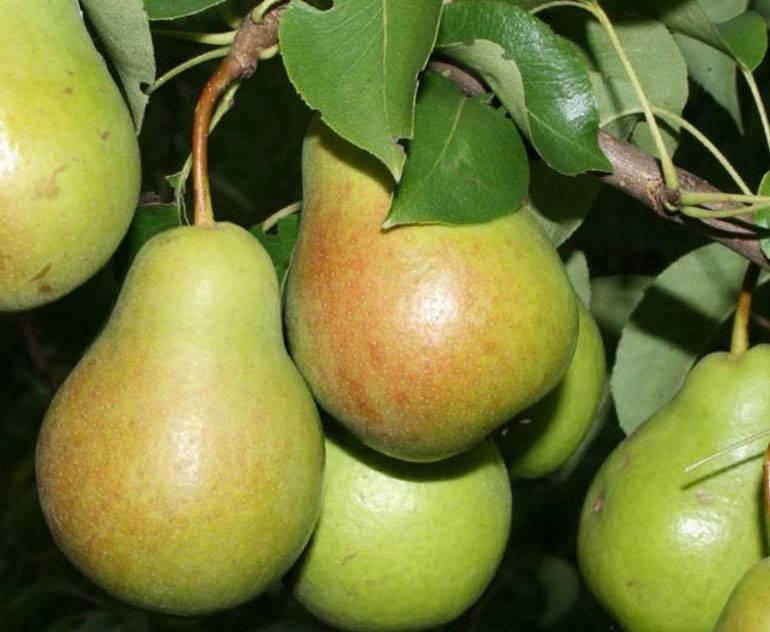 Груша чижовская: описание сорта, советы по выращиванию