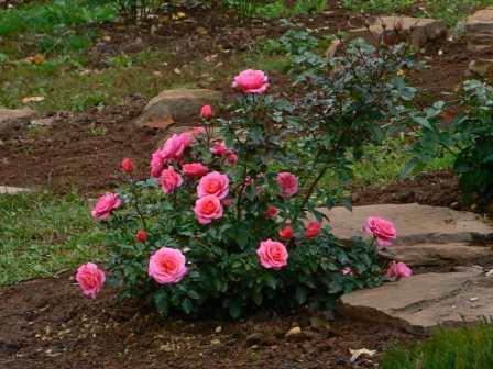 Высаживаем розы в открытый грунт осенью, благоприятные дни по лунному календарю садоводов и огородника