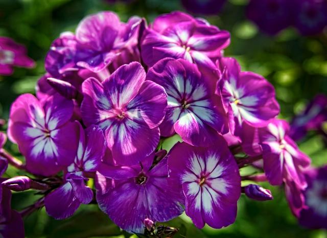 Посадка и уход за флоксами в открытом грунте (25 фото): как сажать и ухаживать за цветами на урале и в других местах? как правильно посадить на даче летом?