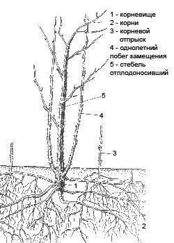 На какую глубину уходят корни малины