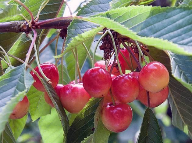 Почему у черешни вянут листья: что делать, как спасти и чем обработать вишневое дерево (120 фото и видео)