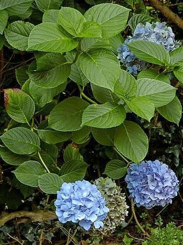 6 самых важных вопросов о выращивании гортензии