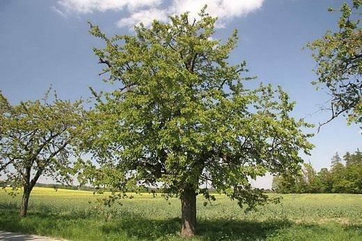 Черешня дерево плоды