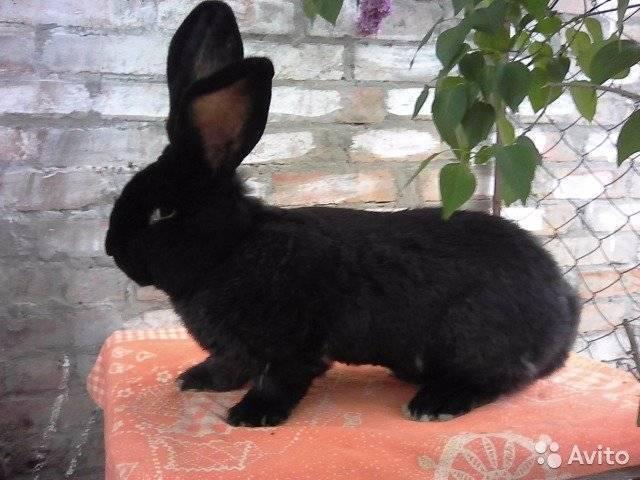 Кролики породы ризен — описание и разведение (фото и видео)
