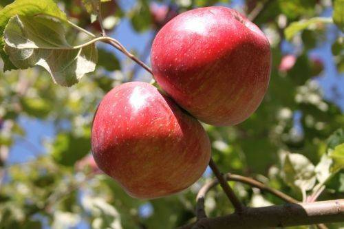 Апорт (сортотип яблони)