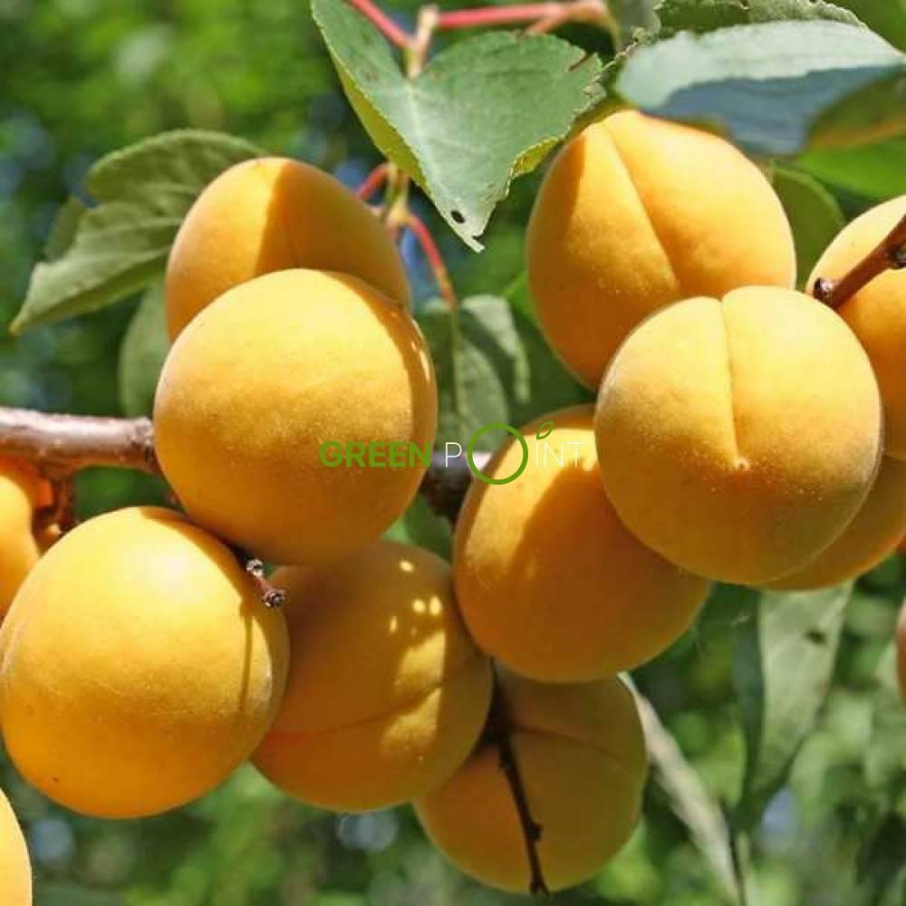 Преимущества и выращивание абрикоса сорта триумф северный