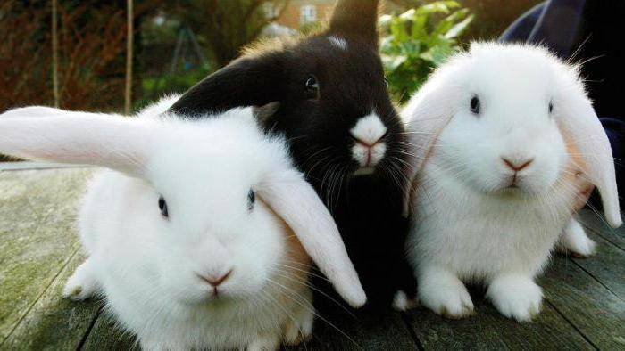 Банный день у домашнего кролика