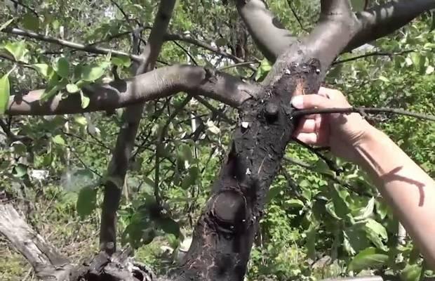 Болезни вишни – подробное описание заболеваний и способов их лечения