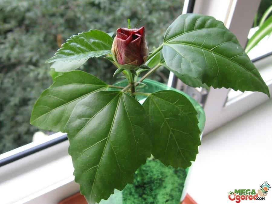 Уход за китайской розой в домашних условиях: фото гибискуса или цветка смерти, пересадка в другой горшок, как поливать комнатное растение, обрезать ли это дерево?
