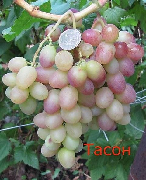 Виноград тасон: описание и особенности сорта, посадка и уход, советы садоводов