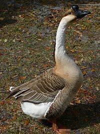 Холмогорские гуси (38 фото): описание породы. сколько весят холмогоры? яйценоскость гусынь и выращивание гусят в домашних условиях