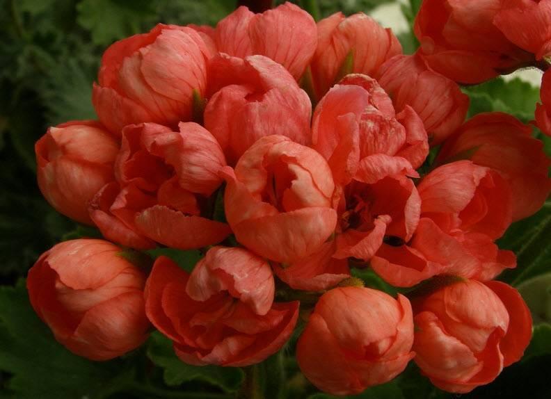 Герань тюльпановидная: фото, сорта, уход