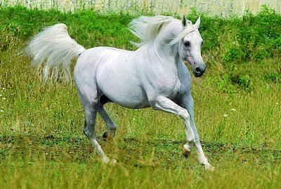 Арабская лошадь – особенности характера, плюсы и минусы породы, рекомендации по содержанию