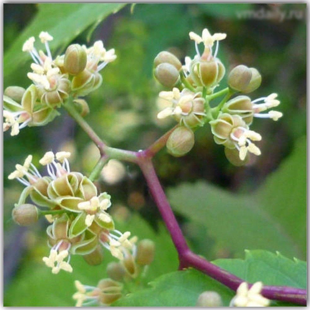 Цветения винограда особенности периода