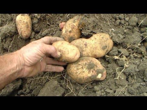 Нандина – сорт растения картофель