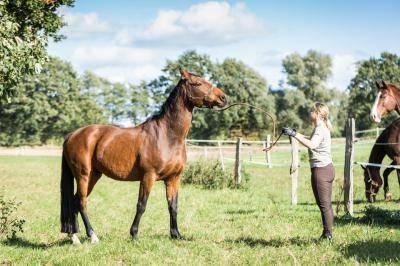 Мерин лошадь: отличия от жеребцов, особенности проведения операции, плюсы и минусы